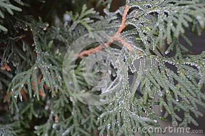 Frost covered arborvitae close up