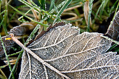 Frost-covered leaf