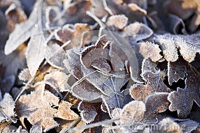 Frost Covered Oak Leaves