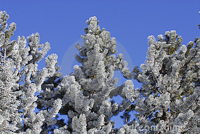 Frost Covered Pine Trees