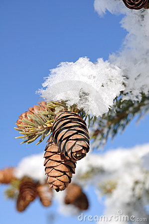 Frost Covered Spruce Tree Branches