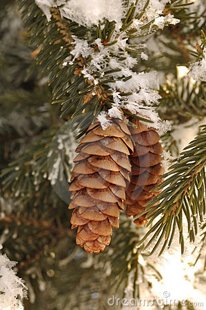 Frost Covered Spruce Tree Branches with Pine Cones
