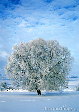 Free Frost Covered Tree Royalty Free Stock Photography - 1826477