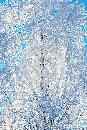 Frost covering bare tree branches