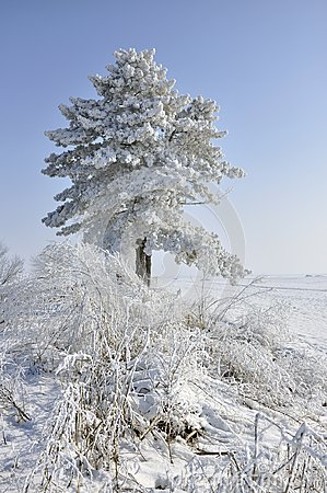 Frost pine and bush