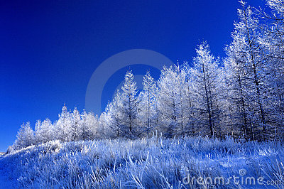 Frost on the pine tree