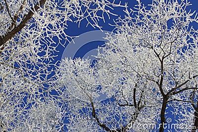 Frost in Winter Trees