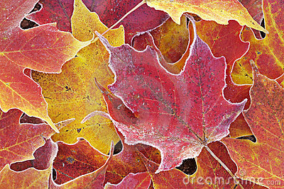 Frosted Autumn Maple Leaves