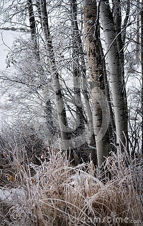 Free Frosted Birch Trees And Grasses. Royalty Free Stock Image - 140812346