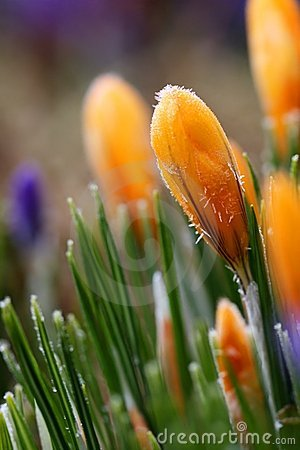 Frosted crocus