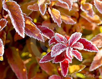 Frosted Fall Leaves Royalty Free Stock Photo - Image: 17539895