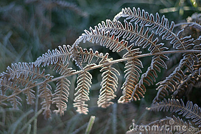 Frosted fern leaf