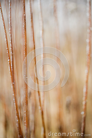 Free Frosted Grass And Plants Royalty Free Stock Photos - 36892508