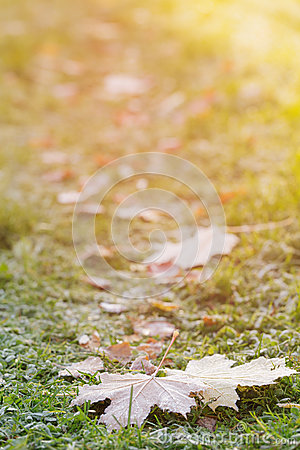 Free Frosted Maple Leaves On Grass Stock Photos - 45715443