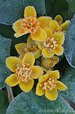 Frosted Marsh Marigold