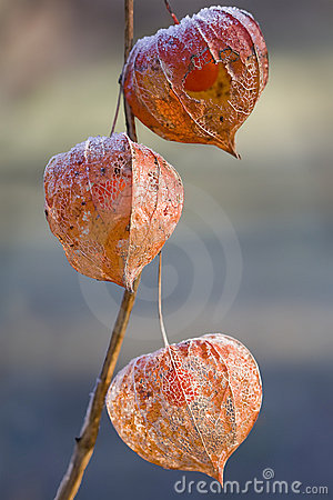 Free Frosted Physalis Royalty Free Stock Image - 12758556