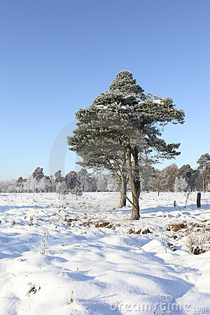 Frosted pine trees