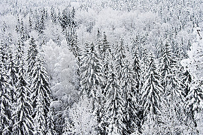 Frosted and snowy trees