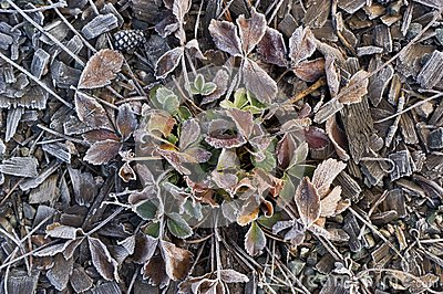 FRosted Strawberry plant