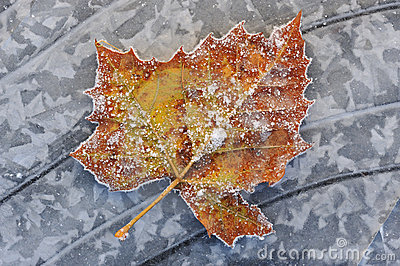 Frosted Sycamore Leaf