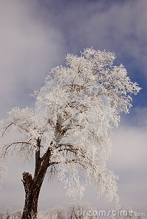 Frosted tree.