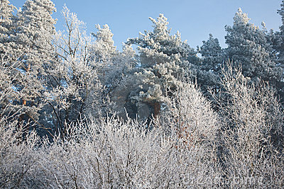 Frosted trees against blue sky