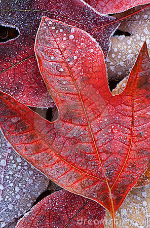 Free Frosted Tulip Tree Leaves Royalty Free Stock Photography - 3498157