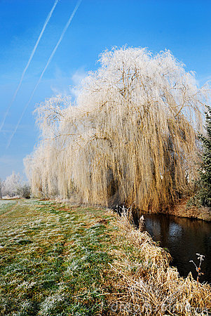 Free Frosted Weeping Willow Royalty Free Stock Images - 1709499