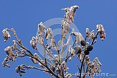 Frosty alder