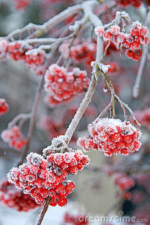 Frosty Ash berries