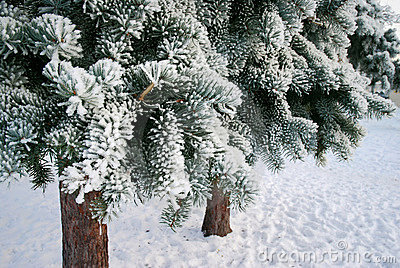 Frosty fir-trees