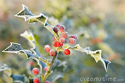 Frosty holly leaves