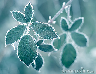 Frosty Leaves Stock Photo