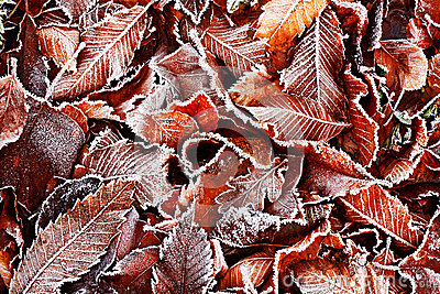 Frosty leaves background