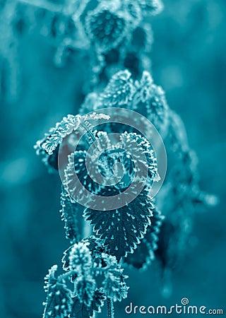Free Frosty Nettle Leaves Stock Photo - 384530