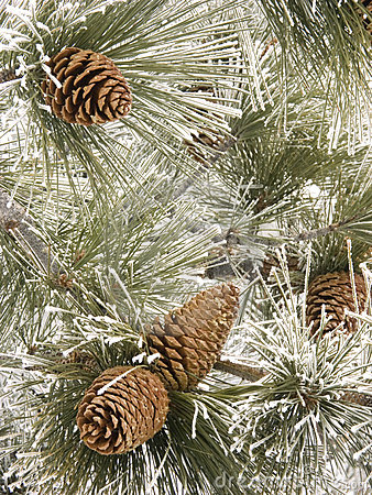Free Frosty Pine Cones Stock Photos - 436673