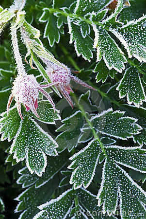 Frosty plants in late fall