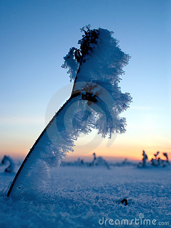 Frosty plants in winter sunset