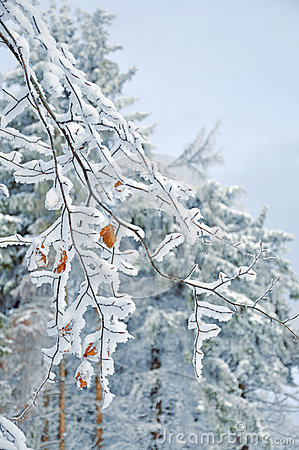 Free Frosty  Snow-covered Leaves Royalty Free Stock Images - 62442259
