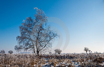 A frosty solitary tree in a Dutch nature reserve