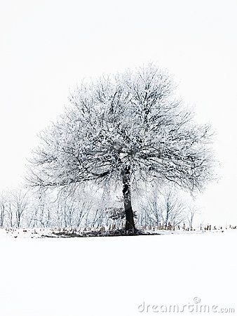 Free Frosty Tree Stock Images - 12668794