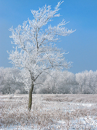 Free Frosty Tree Stock Images - 4684944