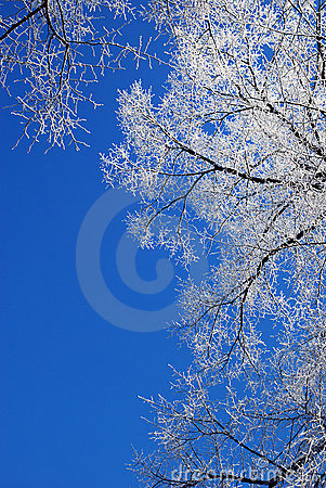 Frosty tree-tops