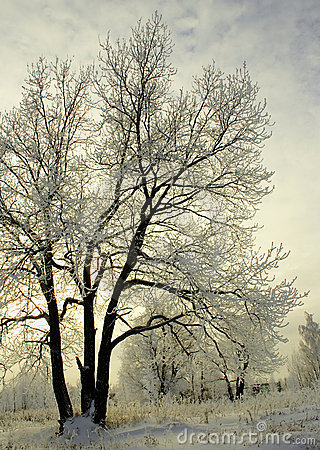 Frosty Trees In Winter