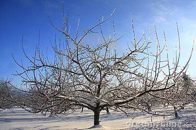 Frozen apple tree with ice