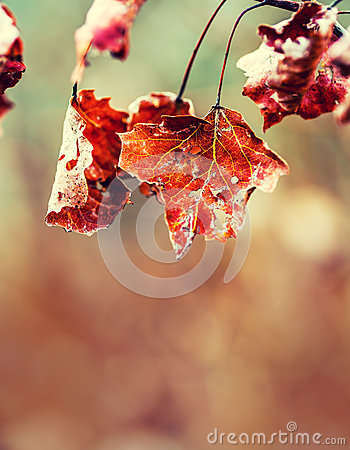 Free Frozen Autumn Frost Cold Morning Ice Maple Leaves. Frozen Autumn Leaves On The Branch Royalty Free Stock Photo - 64192715