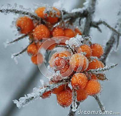 Free Frozen Berries Of Sea-buckthorn Stock Photo - 68586700