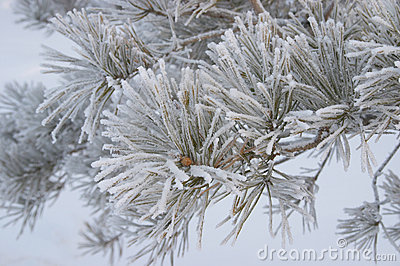 Frozen branch of pine