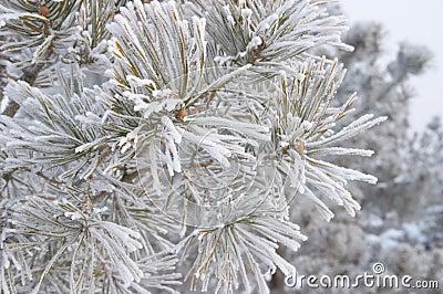 Frozen branch of pine