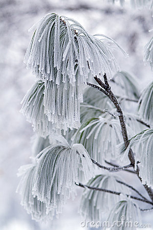 Frozen branch of pine.